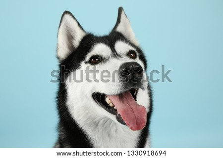 Adorable husky dog on color background #1330918694