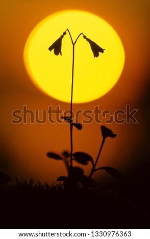 Twinflower (Linnaea borealis) silhouette against setting sun.