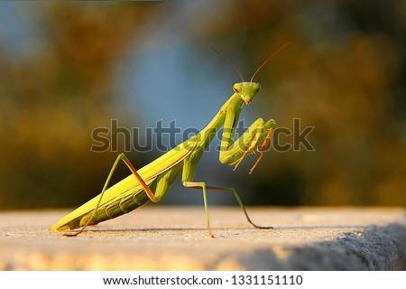 Female European Mantis or Praying Mantis, Mantis Religiosa. Green praying mantis.  #1331151110