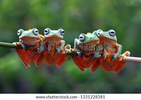 Beautiful javan tree frog sitting on branch, flying frog lined up on the bridge #1331228381