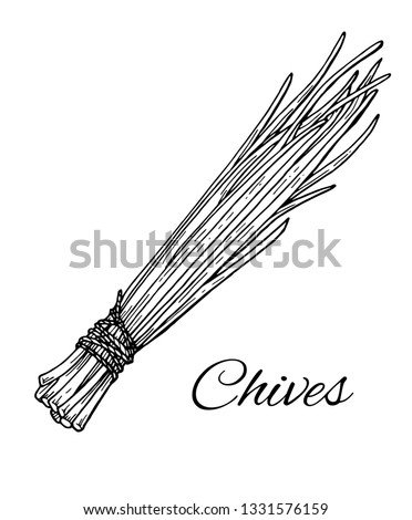 Ink Garlic Chives hand drawn sketch(Allium Tuberosum). Retro botanical line art. Medical herb and spice. Vintage raw chives. Herbal vector illustration isolated on white background #1331576159