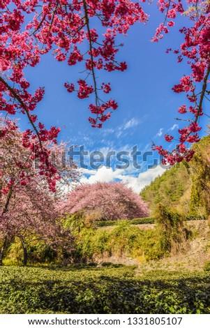 Landscape View of Cherry Blossoms at Sakura Gardens Of Wuling Farm, Taichung, Taiwan #1331805107