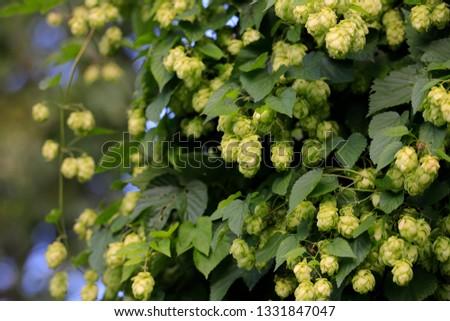 Humulus lupulus (common hop or hops) #1331847047