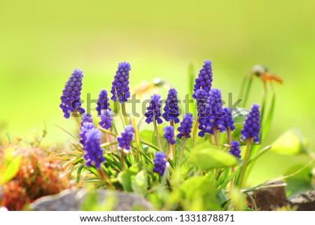 Blooming blue hyacinth #1331878871