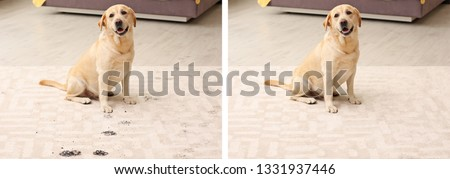 Dog sitting with muddy paw prints on carpet. Before and after cleaning #1331937446