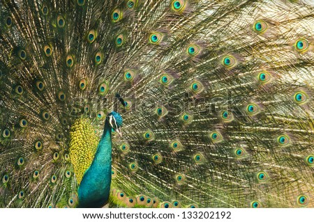 Portrait of beautiful peacock with feathers out #133202192