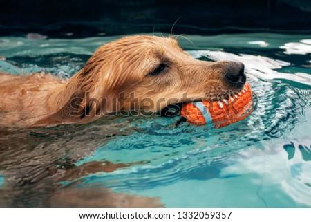 golden retriever puppy enjoying at the pool #1332059357