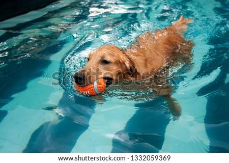 golden retriever puppy enjoying at the pool #1332059369