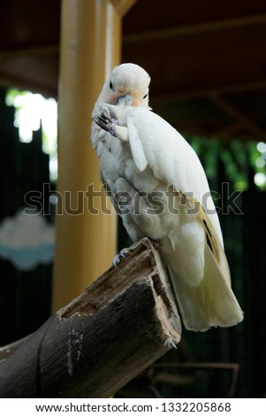 Cacatua alba or white cockatoo, Indonesia #1332205868