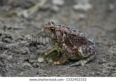 American Toad (Anaxyrus americanus) basking in the road  #1332402332