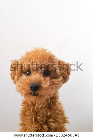 Passport picture of a toy poodle!