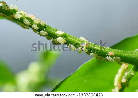 Insect pests, aphid, on the shoots and fruits of plants, Spider mite on flowers. Pepper attacked by malicious insects #1332806423