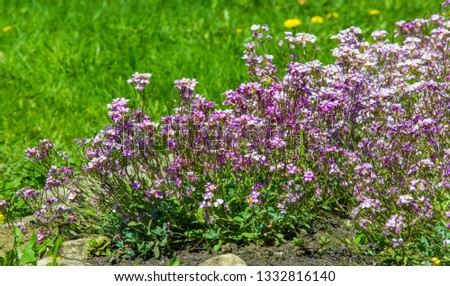 Matthiola longipetala, known as night-scented stock or evening stock syns Cheiranthus longipetalus, Matthiola bicornis,  longipetala subsp. bicornis, and  oxyceras, is a species of ornamental plant. #1332816140