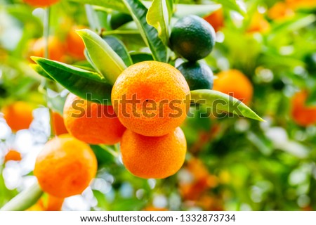 Calamondine fruits and foliage on dwarf  tree. Calamondin Citrus microcarpa, Citrofortunella microcarpa, Citrofortunella mitis. Mandarin Orange citrus fruits grow on citrus tree. Ripe tangerines #1332873734