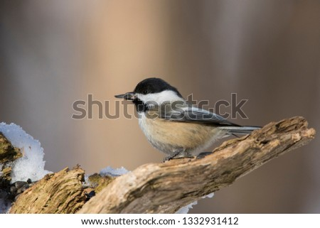 black capped chickadee in winter #1332931412
