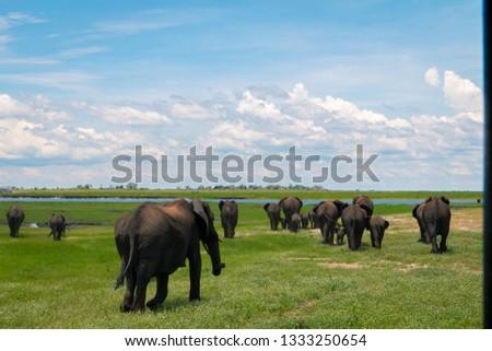 chobe national park in botswana  #1333250654