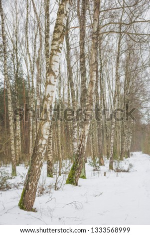 The end of winter. February month. Birch grove.Nature in the vicinity of Pruzhany, Brest region, Belarus. #1333568999