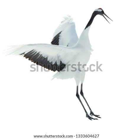 Dancing Crane. The ritual marriage dance. Isolated on white. The red-crowned crane. Scientific name: Grus japonensis, also called the Japanese  or Manchurian crane, is a large East Asian Crane. #1333604627