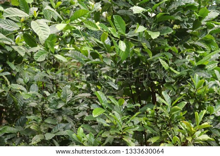 Coffee plants with green fruits taken on the seychelles #1333630064