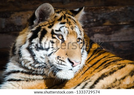 Young tiger sitting on morning sun. Detailed head a part of body is visible. #1333729574