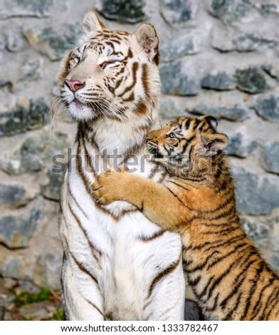 The Siberian tiger (Panthera tigris tigris) also called Amur tiger (Panthera tigris altaica) in the ZOO Royalty-Free Stock Photo #1333782467