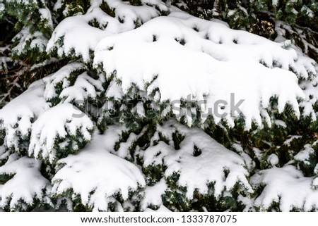 Spruce branches covered with the snow #1333787075