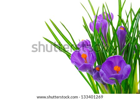 Crocus flowers isolated on white background in macro lens shot. #133401269