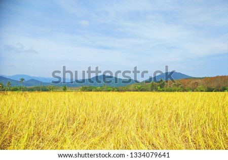 rice field in the evening #1334079641