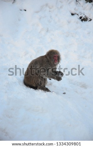 Snow Monkeys from Nagano Japan #1334309801