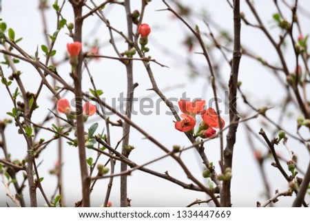 Beautiful small quince flowerson a tree branch close up #1334447669