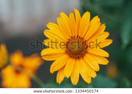Colorful juicy yellow flower with orange center and vivid pleasant pure petals. Flowering jerusalem artichoke in macro. Blossoming helianthus tuberosus close-up. Beautiful flower of topinambur. #1334450174