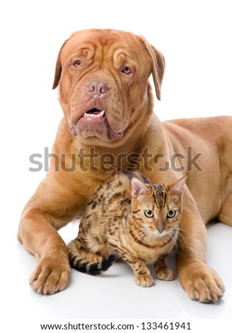Dogue de Bordeaux (French mastiff) and leopard cat (Prionailurus bengalensis). isolated on white background #133461941