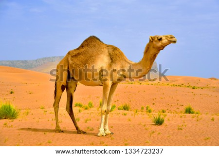 Camel in the desert Royalty-Free Stock Photo #1334723237