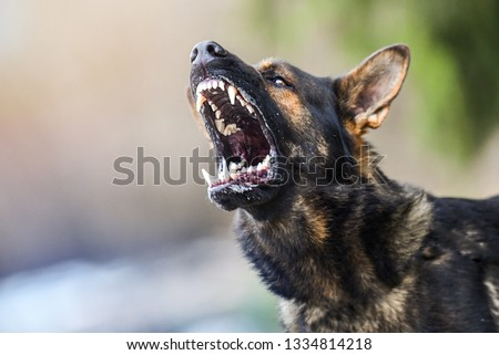 Aggressive dog shows dangerous teeth. German sheperd attack. Head detail Little blur panning move. Royalty-Free Stock Photo #1334814218