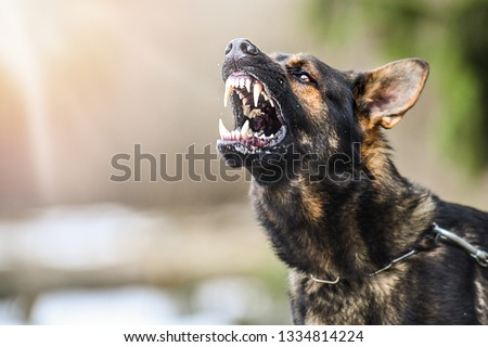 Aggressive dog shows dangerous teeth. German sheperd attack. Head detail Little blur panning move. #1334814224