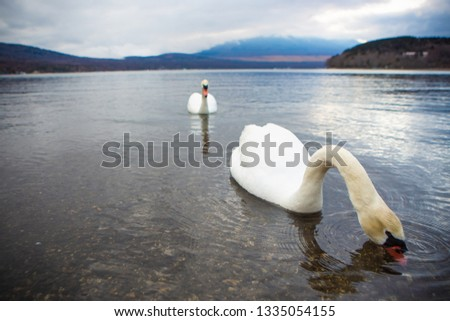 Two white swans swimming on the lake #1335054155
