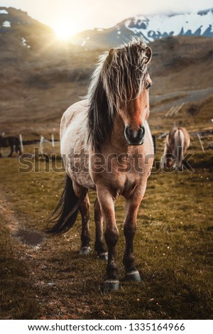 Icelandic horse in the field of scenic nature landscape of Iceland. The Icelandic horse is a breed of horse locally developed in Iceland as Icelandic law prevents horses from being imported. #1335164966