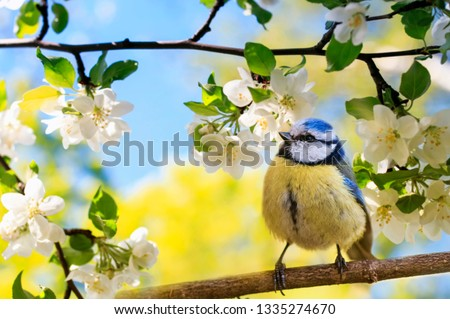 spring natural background with little cute bird tit sitting in may garden on a branch of flowering Apple tree with white fragrant buds #1335274670