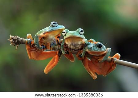 Flying frog on leaves, rhacophorus reinwardtii #1335380336