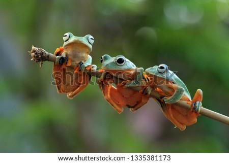 Flying frog on leaves, rhacophorus reinwardtii #1335381173