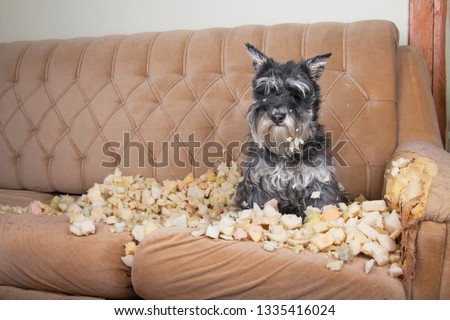 Naughty bad schnauzer puppy dog lies on a couch that she has just destroyed. Mischief puppy chew furniture.  #1335416024