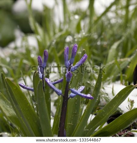 Blue Hyacinth #133544867