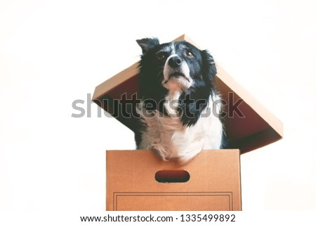 Dog in Paper Box. The topic of inappropriateness of donating live animals. Portrait of Border Collie.