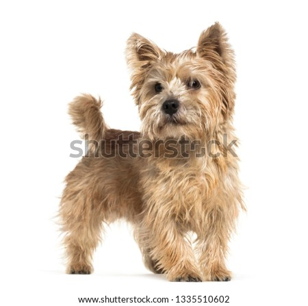Norwich Terrier in front of white background #1335510602