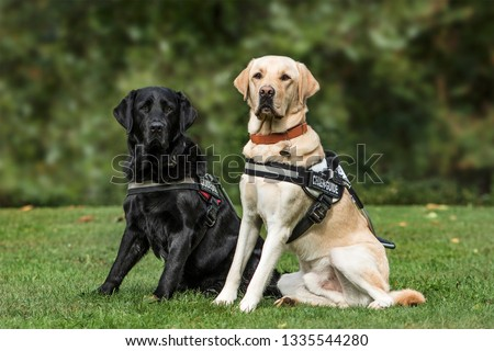 Guide dogs, Labrador Retrievers, 7 and 2 years old, in park #1335544280