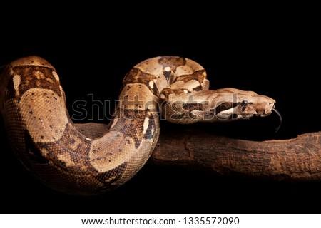 boa constrictor (Boa constrictor) #1335572090