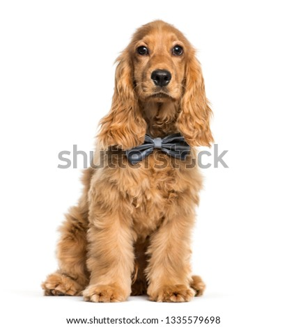 English Cocker Spaniel sitting in front of white background #1335579698