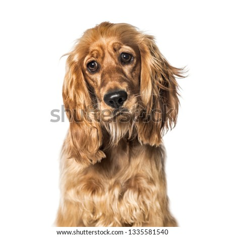 English Cocker in front of white background #1335581540