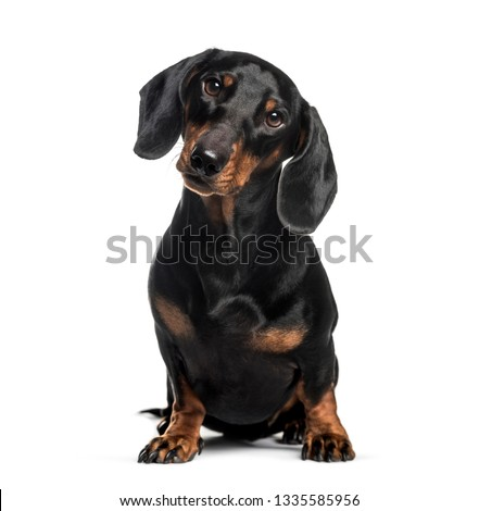 Dachshund, sausage dog, 1 year old, sitting in front of white background #1335585956