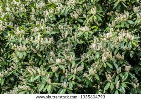 Flowers of English laurel #1335604793